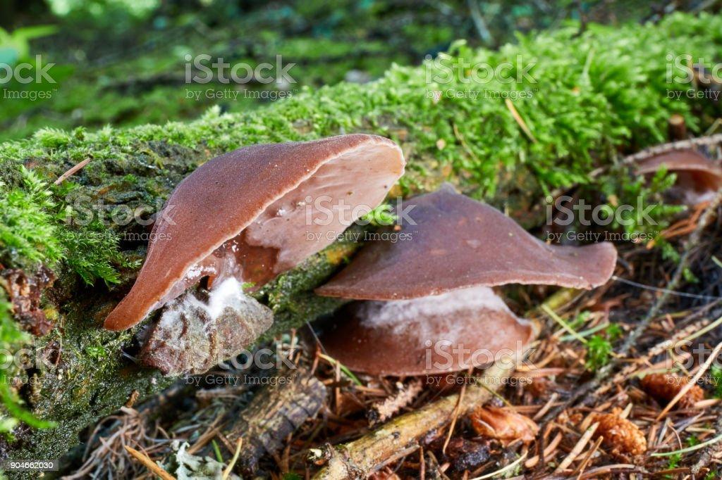 Auricularia auricula judae stock photo