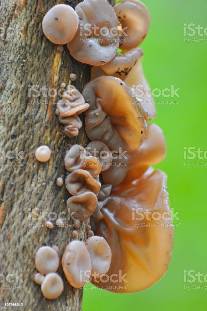 Auricularia auricula-judae, delicious Judas Ear mushrooms grows on wood stock photo