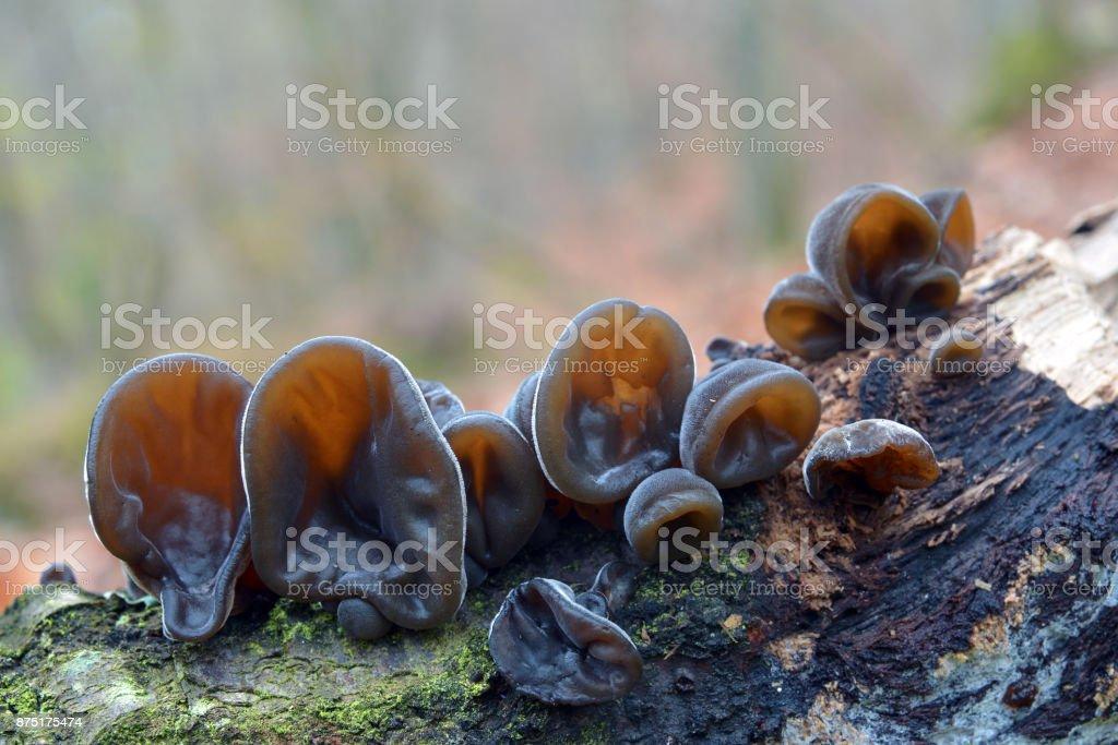 auricularia auricula-judae mushroom stock photo