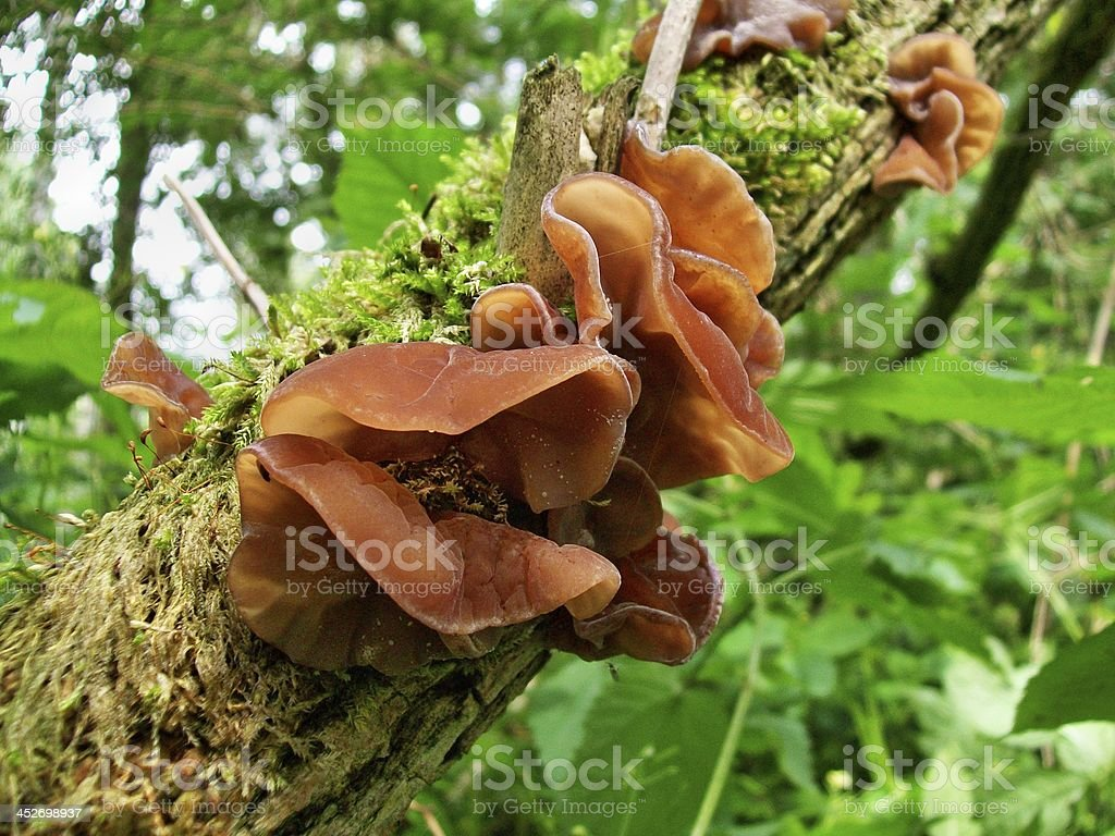 Auricularia auricula-judae stock photo