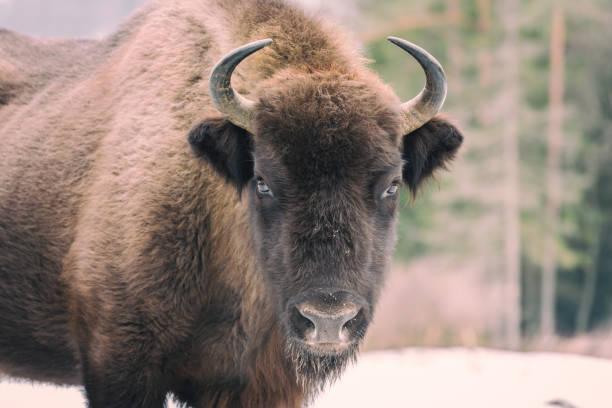 Auerochsen (europäischer Bison) in wilder Natur – Foto
