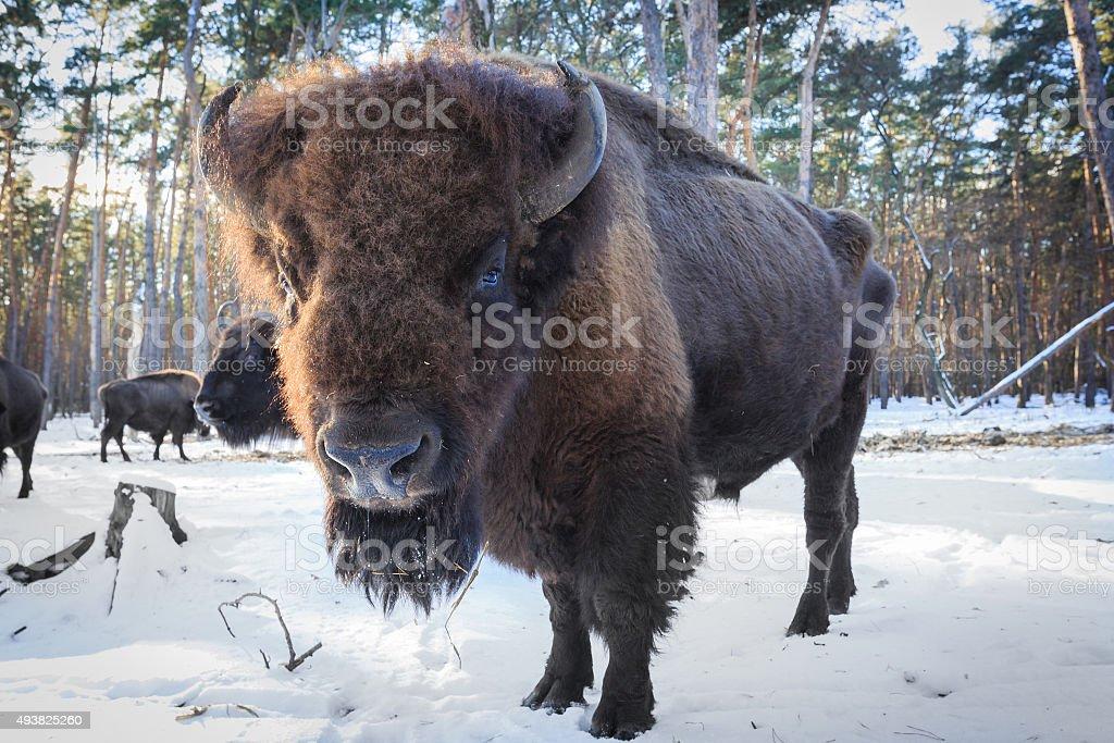 aurochs in winter forest stock photo
