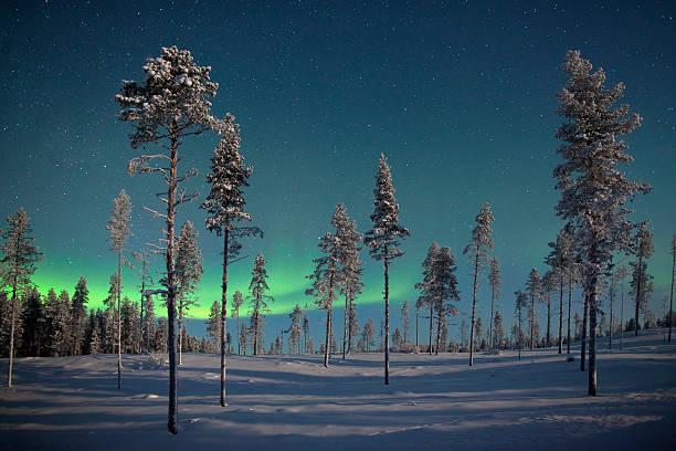 aururora over frozen pine trees. - norrbotten bildbanksfoton och bilder