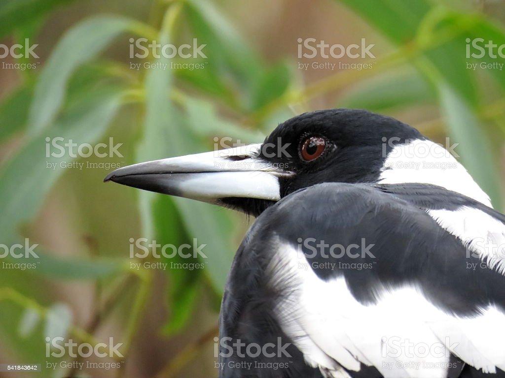 Aussie magpie stock photo