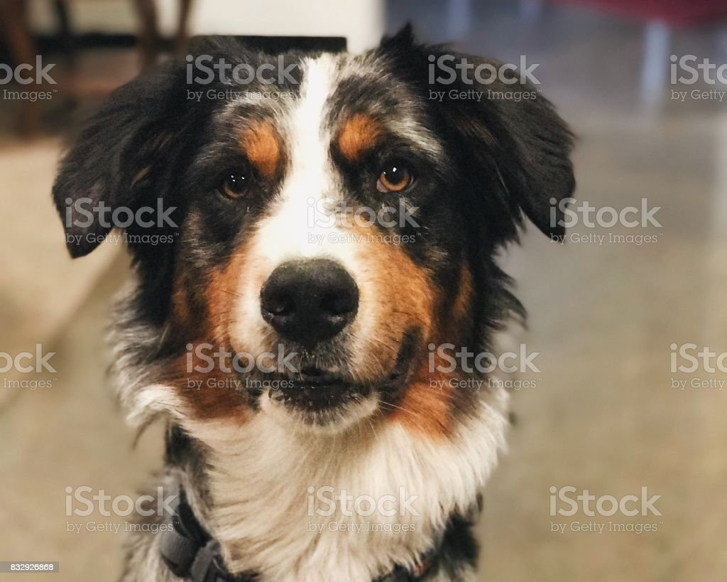 Aussie Mix Dog stock photo