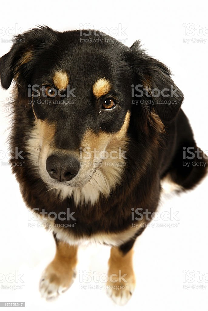 Aussie puppy stock photo