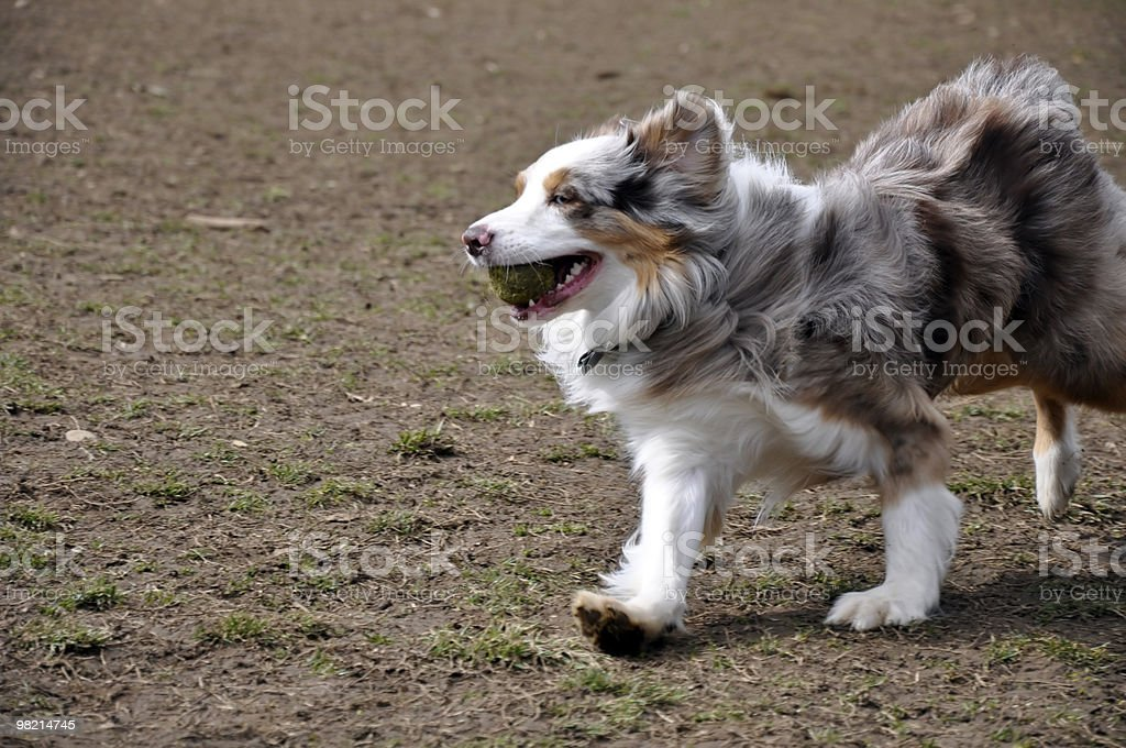 Aussie Running royalty-free stock photo