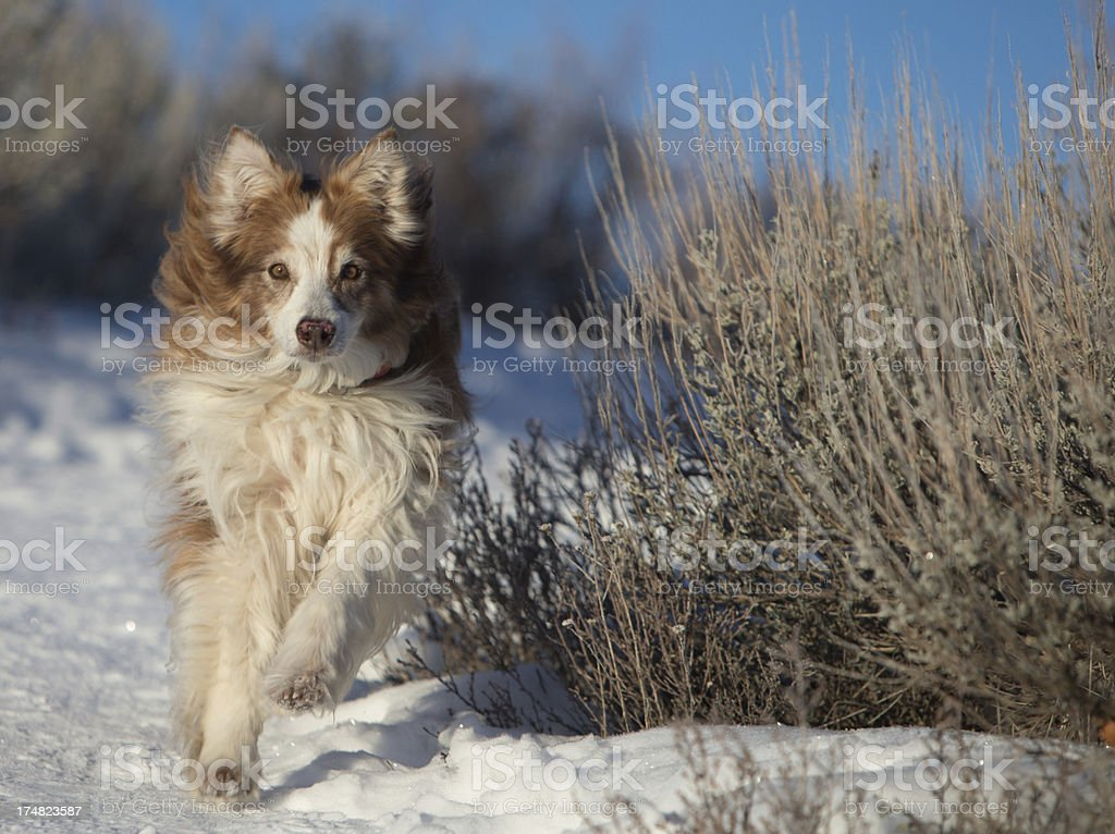 Austrailian Shepard running in the snow royalty-free stock photo