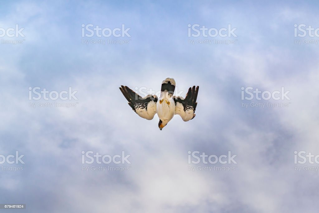 Austral Patagonian Bird Flying royalty-free stock photo