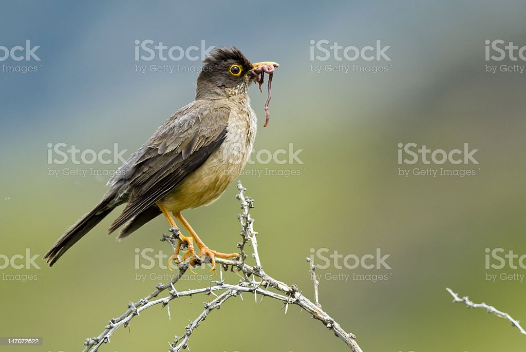 Austral Thrush and Worm stock photo