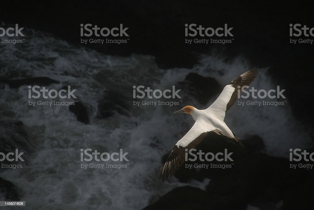 Australasian Gannet in New Zealand royalty-free stock photo
