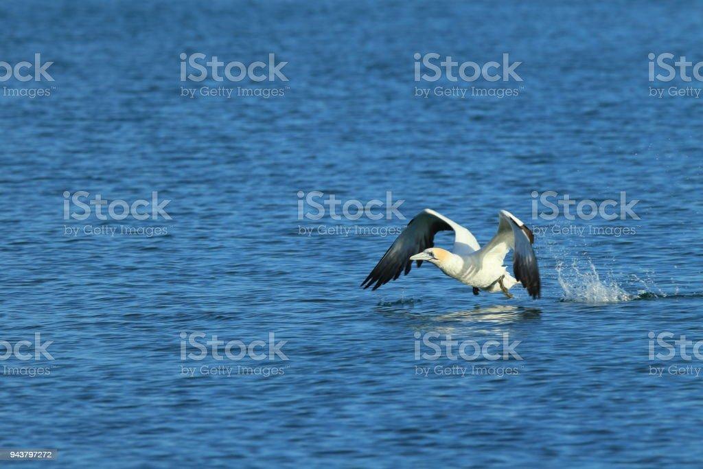 Australasian Gannet, New Zealand stock photo