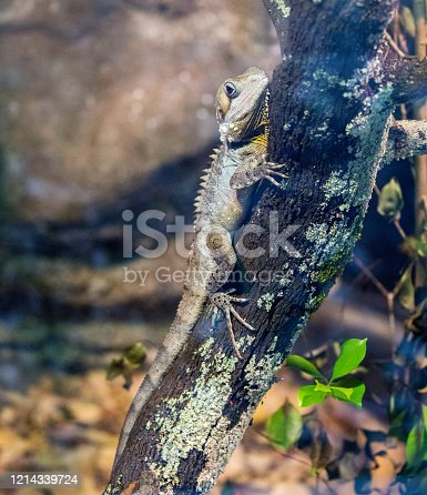 A Boyd's Forest Dragon (Lophosaurus boydii) climbing a tree, a typical place to find them in Australia.