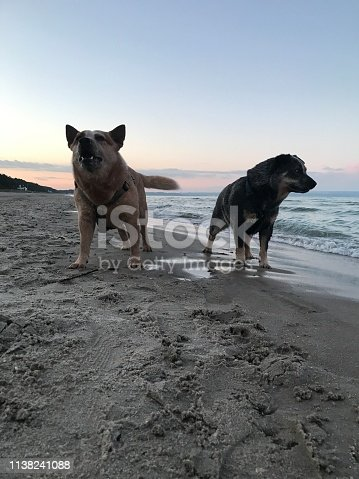 Australia Cattle Dog on the Beach