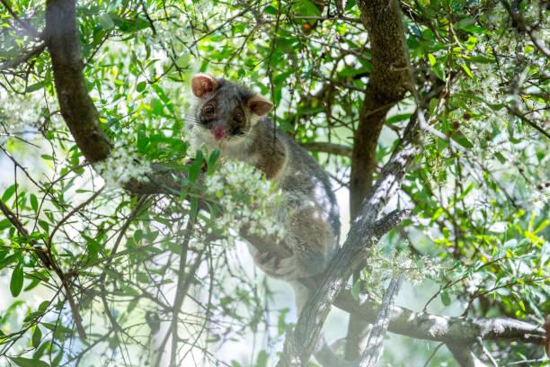 Australia: Common Brushtail Possum stock photo
