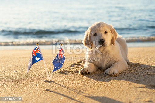Golden Retriever puppy, on the beach, with Australian Flags, copy space.