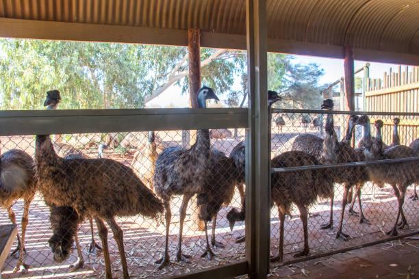 Australia: Emu stock photo