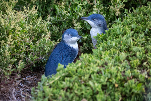 Australia: Fairy Penguin stock photo