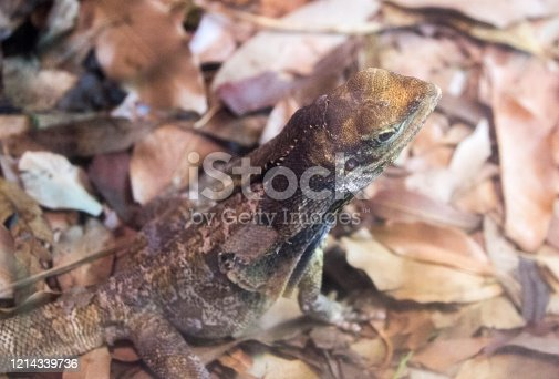 A Frilled Lizard (Chlamydosaurus kingii) standing on dead leaves on the ground in Australia.