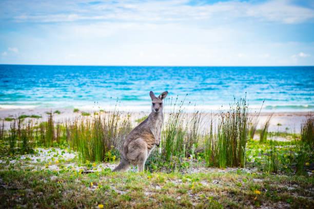 Australia Kangaroo stock photo