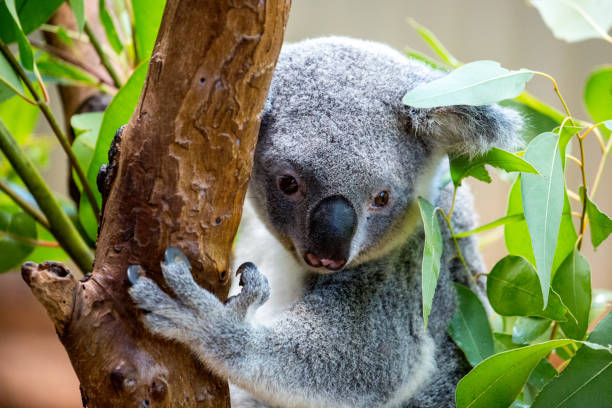 Australia: Koala Bear stock photo
