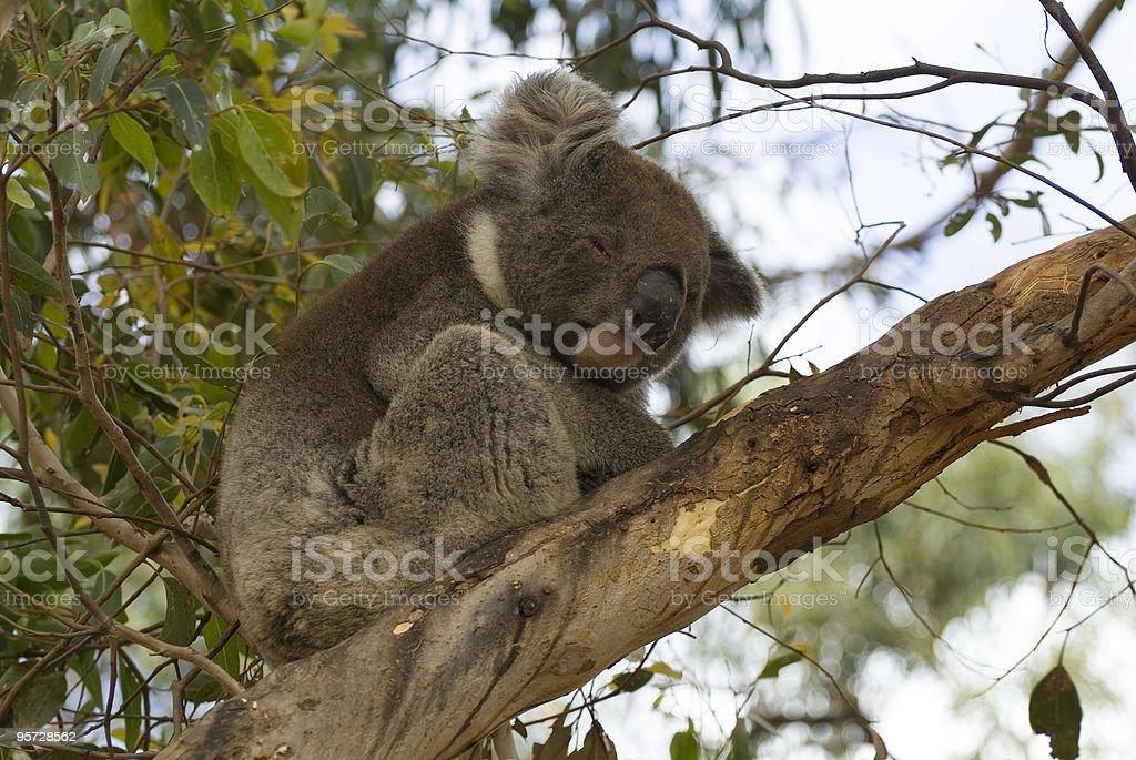 Australia, Koala stock photo