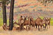 Australia, Outback, Northern Territory, Australian feral dromedary camel.