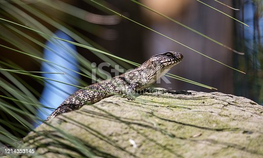 A Skink (Scincidae) basks on a rock in Sydney, enjoying the hot summer weather.