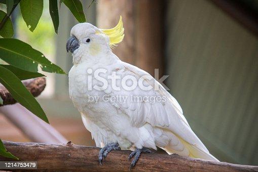 A Sulphur-Crested Cockatoo (Cacatua galerita) perched on a branch in Kuranda.