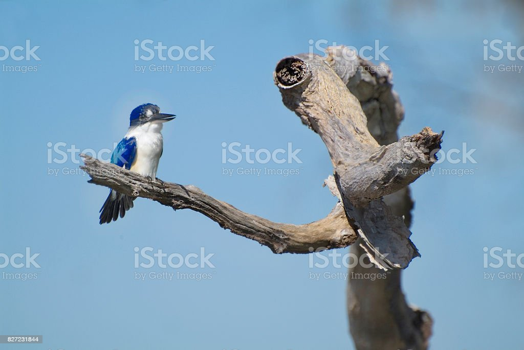 Australia, Zoology, Bird stock photo