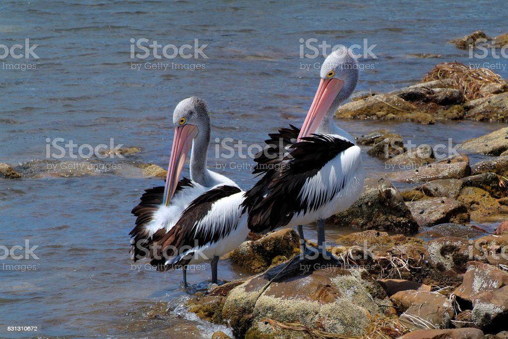 Australia, Zoology stock photo