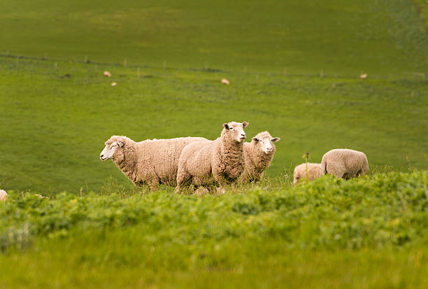 Australian Agriculture Landscape Group of Sheep in Paddock stock photo