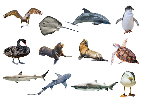 Collage of Australian animals, isolated on white background. Pelican, Seagull, Penguin, Black Swan, Lemon shark, Sting Ray, Great White Shark, Sea Turtle, Dolphin and the Sea lion and Seal.