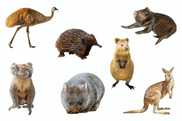 australian animals isolated - wombat stock photos and pictures