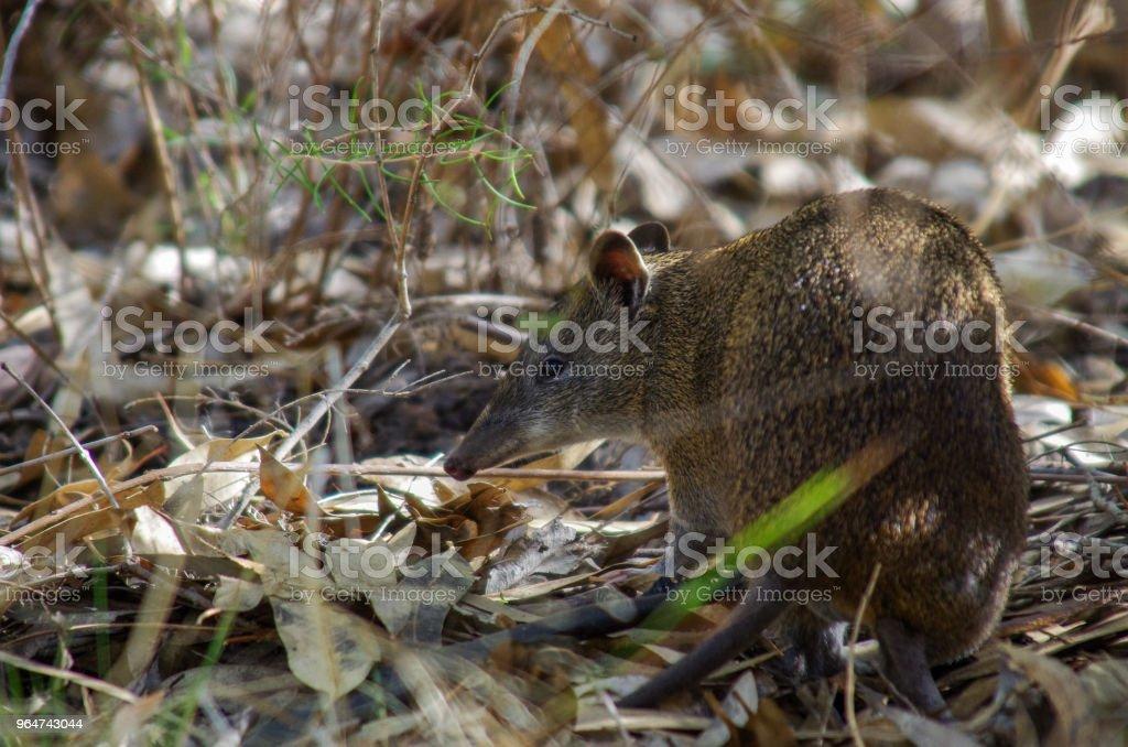 Australian Bandicoot stock photo