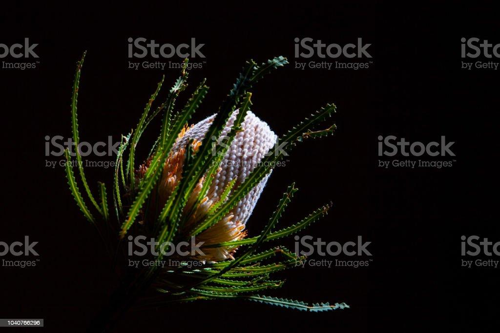 Australian banksia flower isolated on black background stock photo