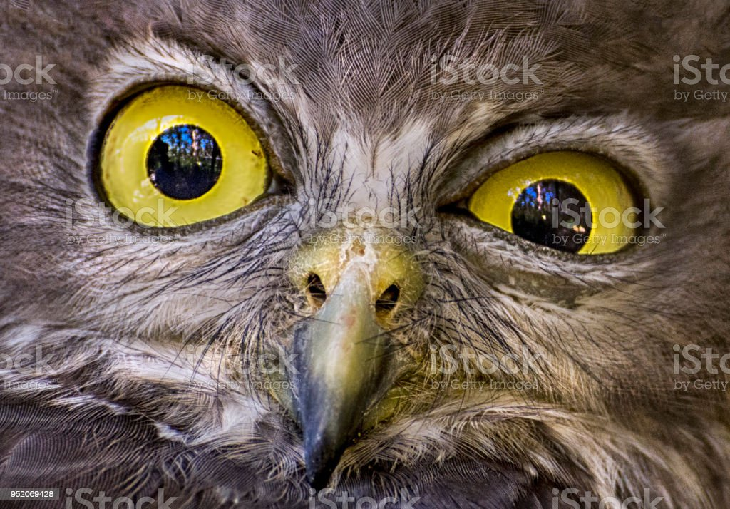 Australian Barking Owl stock photo