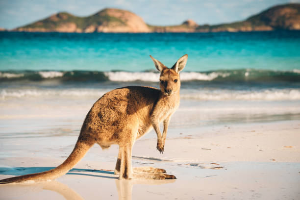 Australian beach Kangaroo portrait Kangaroo at Lucky Bay in the Cape Range National Park near Esperance, Western Australia outback stock pictures, royalty-free photos & images