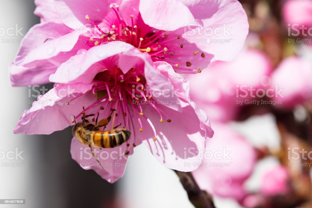 Australian Bee and Flower royalty-free stock photo