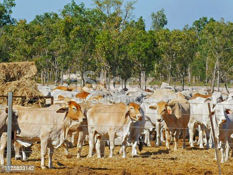 australian beef cattle at a cattle yard in darwin before being exported to asia