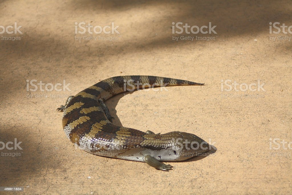 Australian Blue Tongue Lizard stock photo