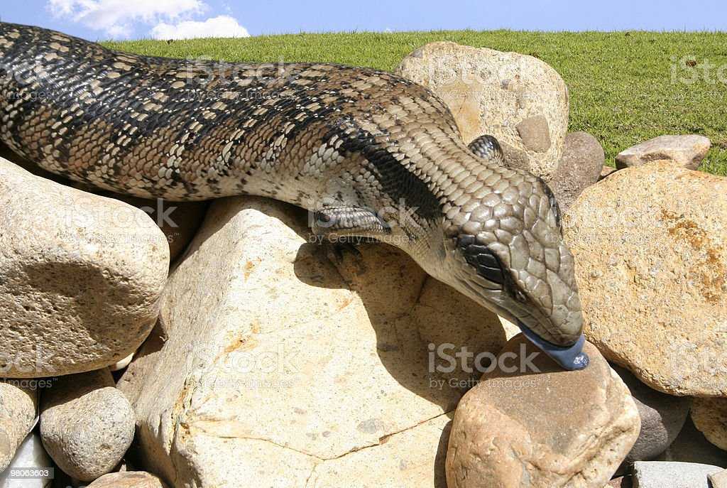 Australian blue tongue-lizard royalty-free stock photo