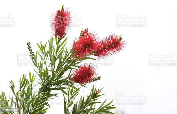 Australian bottlebrush callistemon flowers picture id578588462?b=1&k=6&m=578588462&s=612x612&h=6dq9ucj94dv7dgyenempriifptfiinc8ykbuf ptufq=