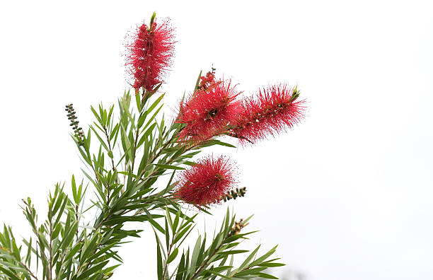 Australian Bottlebrush Callistemon Flowers stock photo