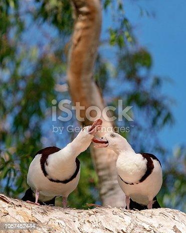 Australian Radjah Shelducks, commonly known as Burdekin Ducks, sitting on a tree branch