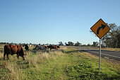 Australian bush cattle being driven along a travelling stock route along a highway looking for feed on the side of the road during drought, rural New South Wales, Australia