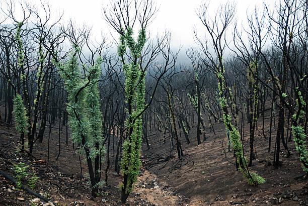 australian bush fires - herbebossing stockfoto's en -beelden