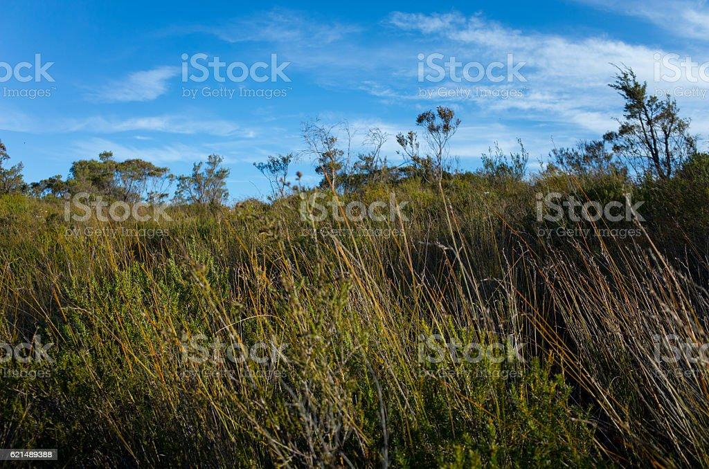 Australian Bush Landscape With Native Shrubs and Eucalyptus Tree foto stock royalty-free