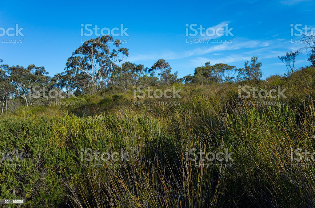 Australian Bush Landscape With Native Shrubs and Eucalyptus Tree Lizenzfreies stock-foto