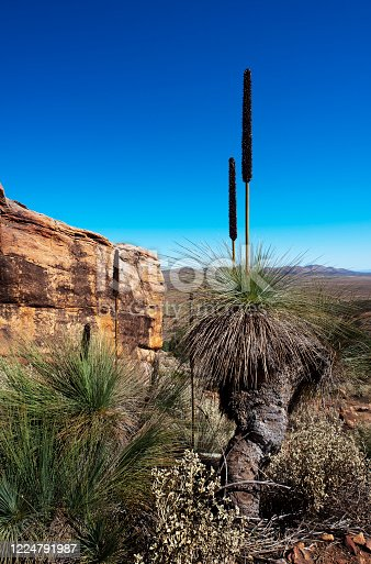 Australian bush outback landscape scene with a flowering Grass Tree.  Xanthorrhoea, commonly known as Black Boy Trees in Australia.